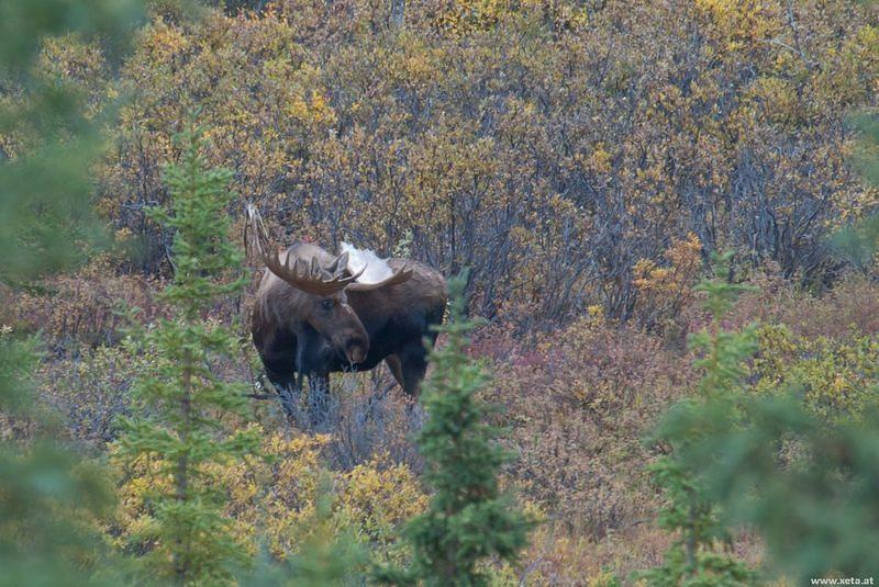 DSB 0693 Alaska Denali Nationalpark Denali Nationalpark Moose Elch USA