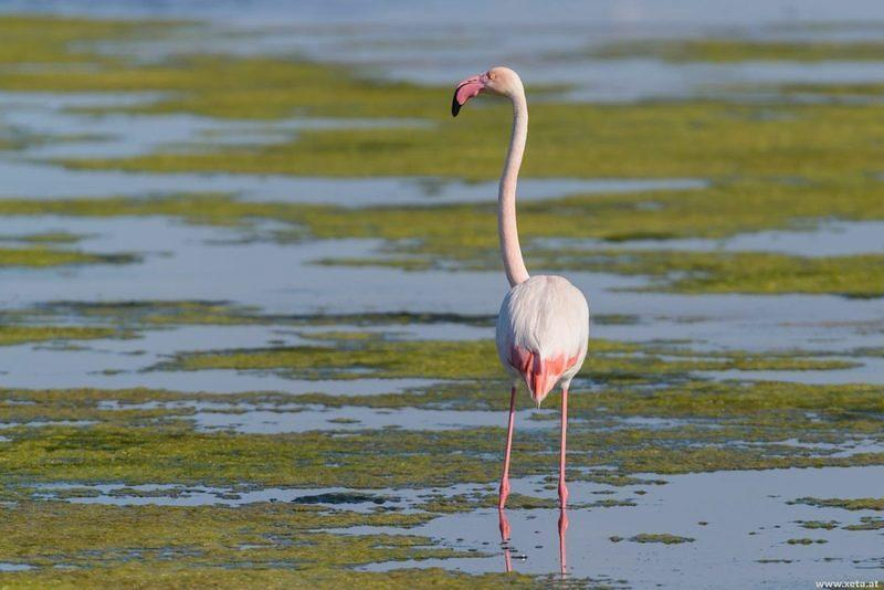 DSL 5206 Italien Flamingo Greater Flamingo Sardinien Capoterra Rosaflamingo