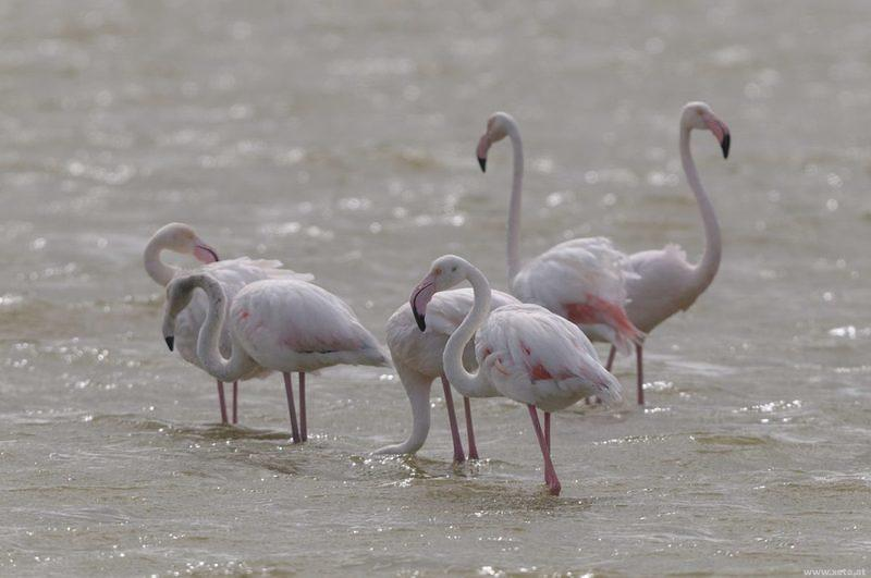 DSI 5009 Flamingo Voegel Namibia Greater Flamingo Luederitz Luederitz Halbinsel