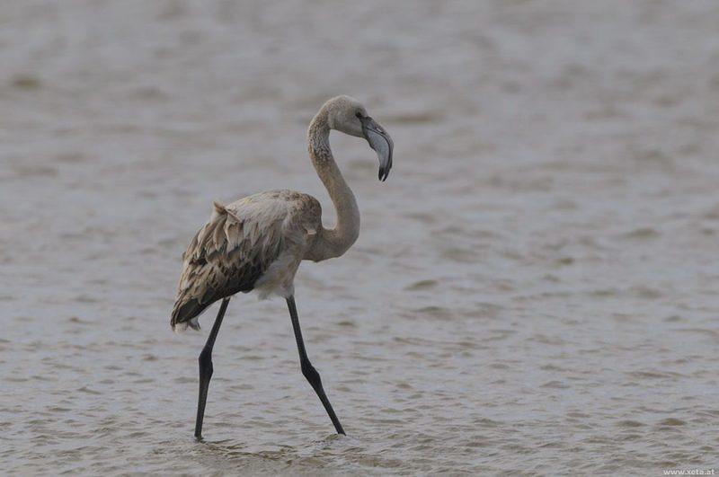 DSI 5017 Flamingo Voegel Namibia Greater Flamingo Luederitz Luederitz Halbinsel