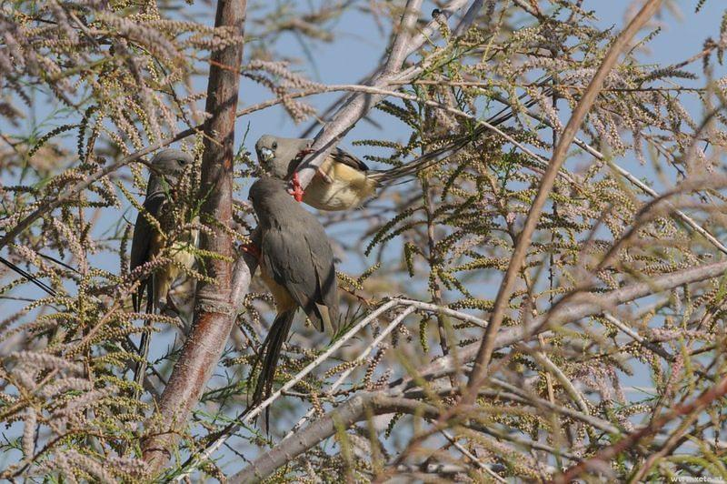 DSI 5562 Nationalpark Voegel Namibia Namib Naukluft Namib White backed Mousebird Colius colius Weissruecken Mausvogel