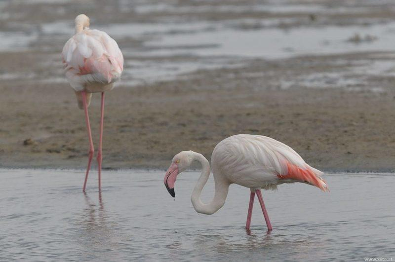 DSI 5765 Flamingo Voegel Namibia Walvis Bay Greater Flamingo