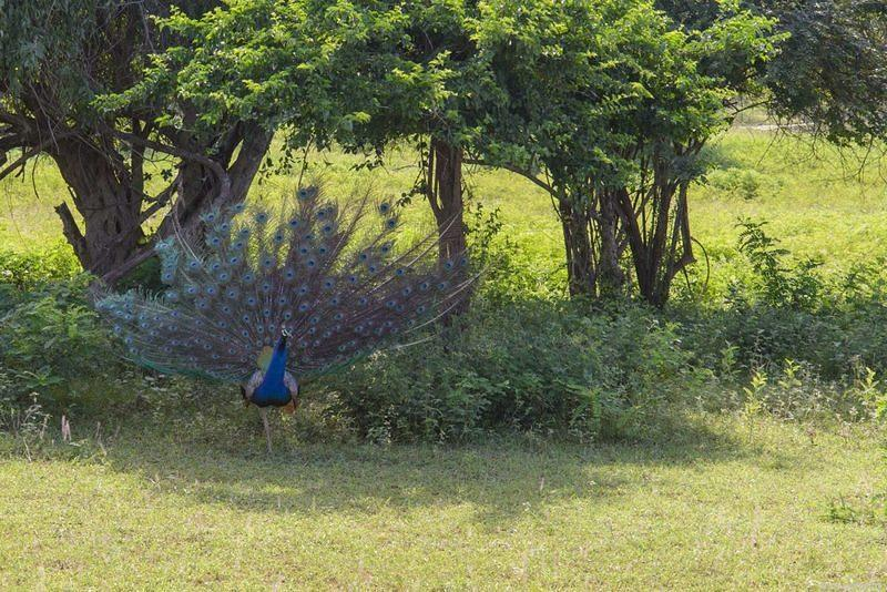 DSM 1636 Voegel Ceylon Sri Lanka Yala Yala National Park Yala Nationalpark Blauer Pfau blue peafowl Indian peafowl Peafowl Pfau