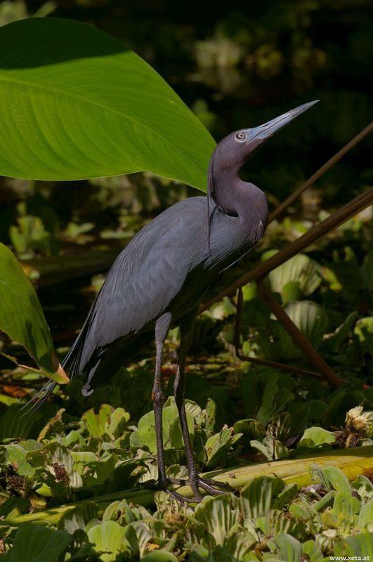 DSH 6525 USA Voegel Schreitvoegel Florida Corkscrew Swamp Little Blue Heron Blaureiher