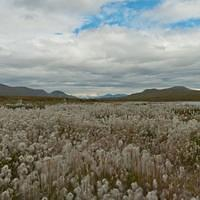 DSA 9816 Alaska Denali Highway Cotton Grass USA