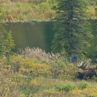 DSB 0717 Alaska Denali Nationalpark Denali Nationalpark Moose Elch USA
