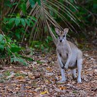 DSN 8603 Kaenguru Australien Queensland Mission Beach Rotnackenwallaby Red-necked wallaby