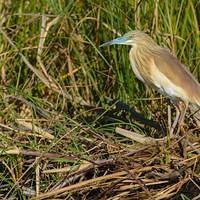 DSL 9614 Reiher Botswana North-West District Okavangodelta Heron Rallenreiher Squacco heron