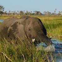 DSL 9622 Afrikanischer Elefant Elefant Botswana North-West District Okavangodelta Okavango