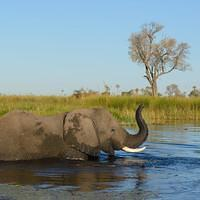 DSL 9642 Afrikanischer Elefant Elefant Botswana North-West District Okavangodelta Okavango