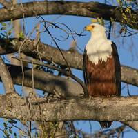 DSL 9653 Schreiseeadler Botswana North-West District Okavangodelta African fish eagle