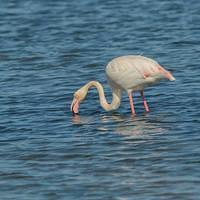 DSL 5263 Italien Flamingo Greater Flamingo Sardinien Capoterra Rosaflamingo