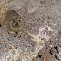 DSI 4057 Namibia Hardap Klippschliefer Klippdachs Rock hyrax Hardap Recreation Resort