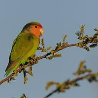 DSI 5243 Papagei Nationalpark Voegel Namibia Namib Naukluft Namib Gondwana Collection Namib Desert Lodge Rosy faced Lovebird Rosenkoepfchen