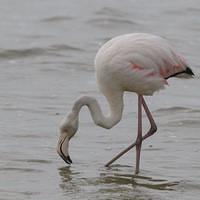 DSI 5895 Flamingo Voegel Namibia Walvis Bay Greater Flamingo