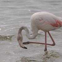 DSI 5975 Flamingo Voegel Namibia Walvis Bay Greater Flamingo