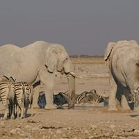 DSI 6677 Elefant Nationalpark Namibia Etosha Afrikanischer Elefant Big Five Elephant Nebrowni Waterhole Wasserloch