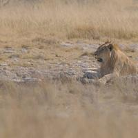 DSI 7008 Nationalpark Loewe Namibia Etosha Big Five Lion Charitsaub Waterhole Wasserloch