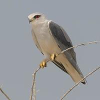 DSI 7361 Nationalpark Voegel Namibia Etosha Gleitaar Elanus caeruleus Black-winged Kite