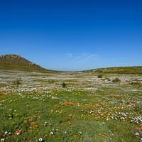 DSN 2755 Afrika Blumen Bloom Langebaan West Coast National Park West-Coast-Nationalpark Wild Flowers Wildblumen Suedafrika