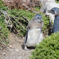 DSN 3017 Voegel Afrika African penguin Brillenpinguin Kolonie False Bay Bettys Bay Stony Point African Penguin Colony Suedafrika