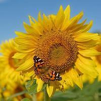 DSO 3966 USA Schmetterling Kansas Grinter's Sunflower Farm Sunflower Farm Lawrence Sonnenblumen